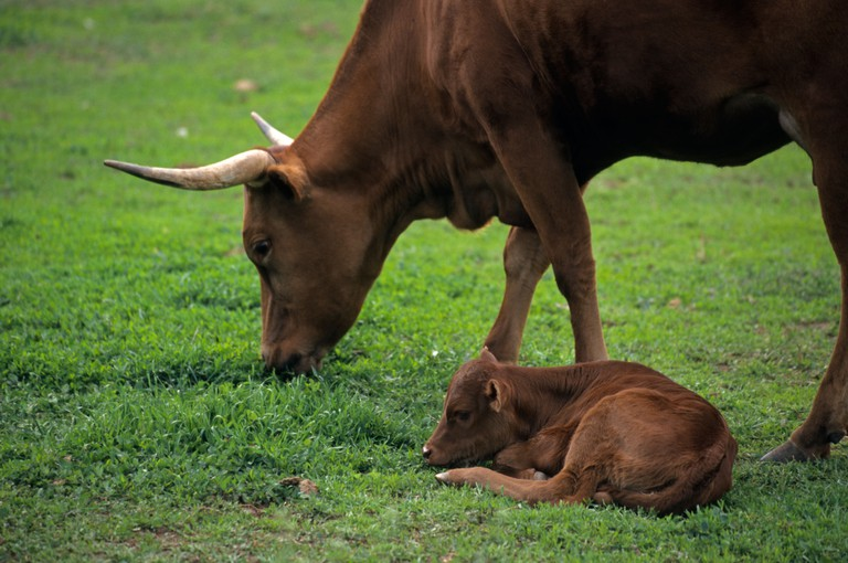 Mother cow grazes while calf sleeps on the grass at Littleton Historical Museum in Denver Colorado USA