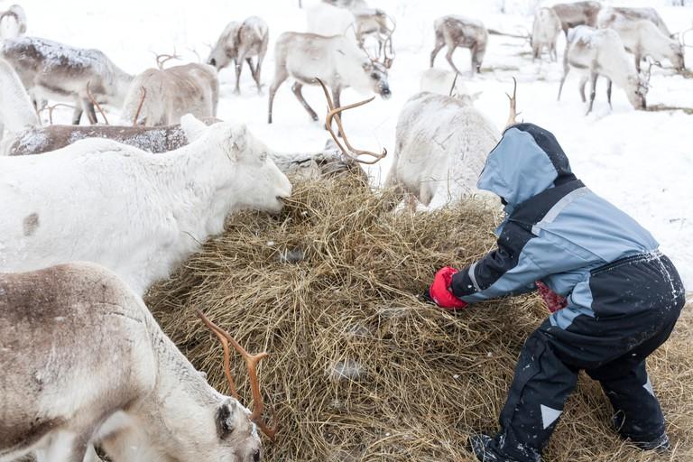 Child feeding reindeer, Inari, Finland