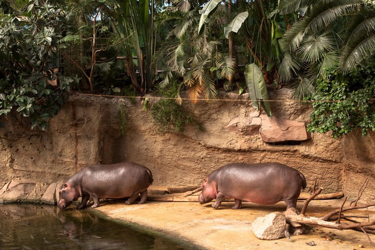 Germany, Cologne, the zoological garden, hippos at the HippodomDeutschland, Koeln, im Zoo, Flusspferde im Hippodom.