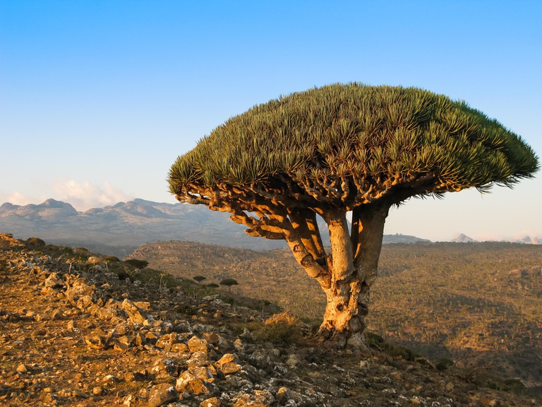 Dragon tree, endemic plant of Socotra island, Yemen