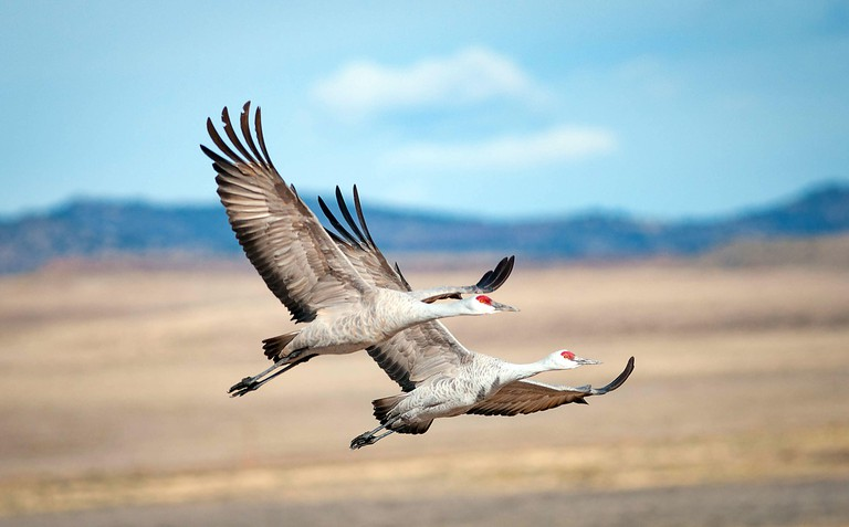 March 21, 2018: Sandhill cranes soar in the morning sun over the National Wildlife Refuge fields and wetlands. Each spring, as many as 27,000 sandhill cranes migrate through Colorado's San Luis Valley and the Monte Vista National Wildlife Refuge, Monte Vi