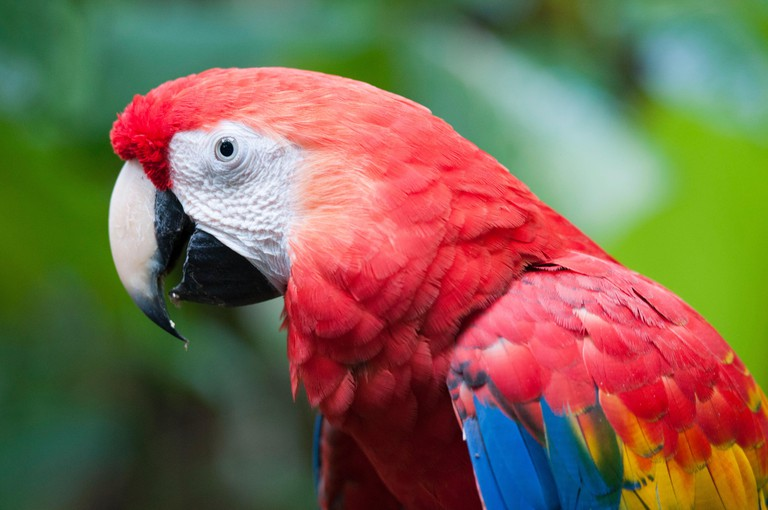 Costa Rica, Puntarenas Province, Osa Peninsula, Piedras Blancas National Park, Osa Wildlife Sanctuary, Red Macaw (Ara macao)