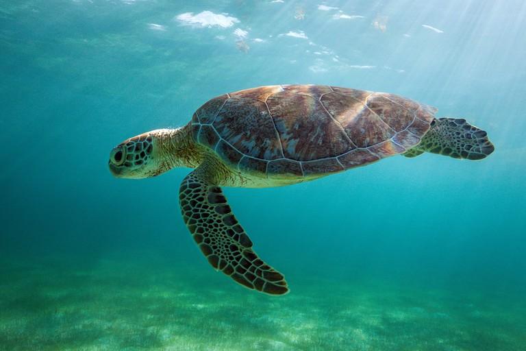 Green Sea Turtle, Chelonia mydas, Akumal, Tulum, Mexico