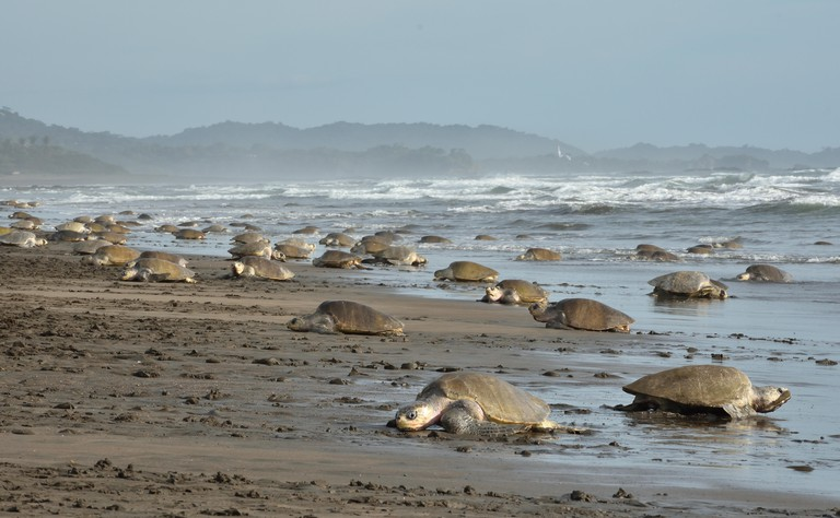 A Massive turtles nesting of Olive Ridley sea turtles in Ostional beach; Costa Rica, Guancaste