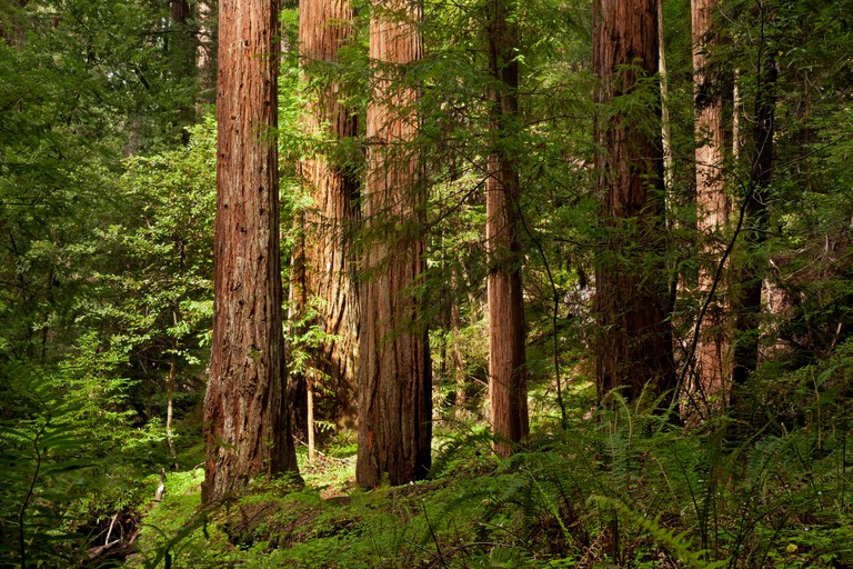 Redwood trees in the Peters Grove area of Portola Redwoods State Park in the Santa Cruz Mountains.