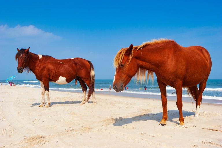 Assateague Island, a popular camping site on a 37-mile long island on the Maryland, USA coast, where wild horses live.