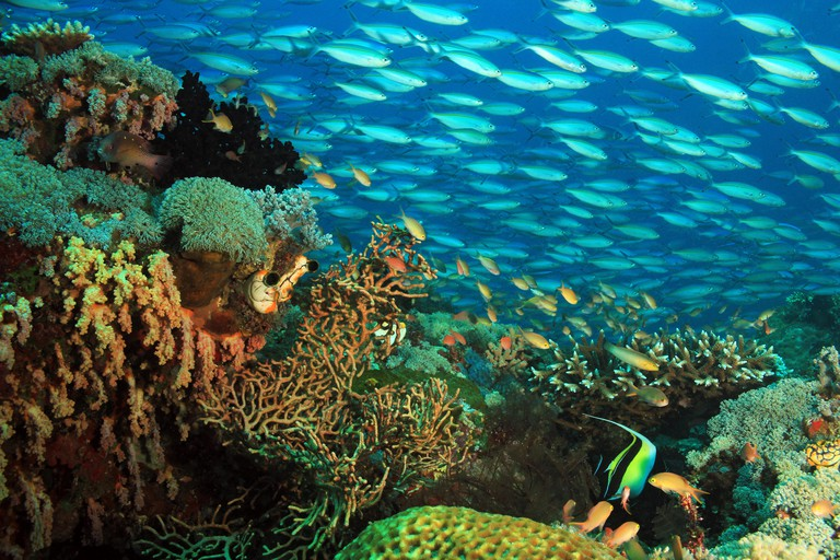 Schooling Fusiliers over a Colorful Coral Reef. Gam, Raja Ampat, Indonesia FX20ND