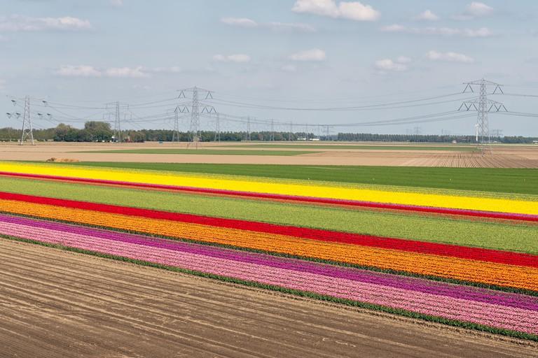 Colorful tulip field with electricity pylons in Dutch Noordoostpolder