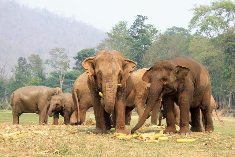 Asian Elephants feeding at Elephant Nature Park, Chiang Mai, Thailand