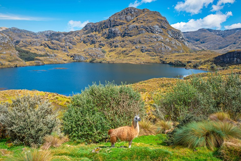 A llama in the wild with a lovely blue coloured lagoon inside Cajas national park on a hiking pole near the city of Cuenca, Ecuador.