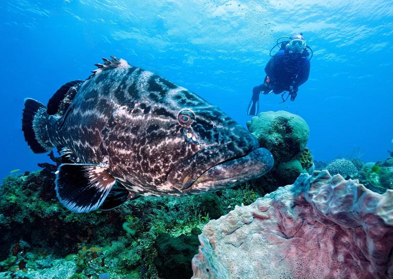 Black grouper, Mycteroperca bonaci, and scuba diver, Palancar Reef, Cozumel, Mexico