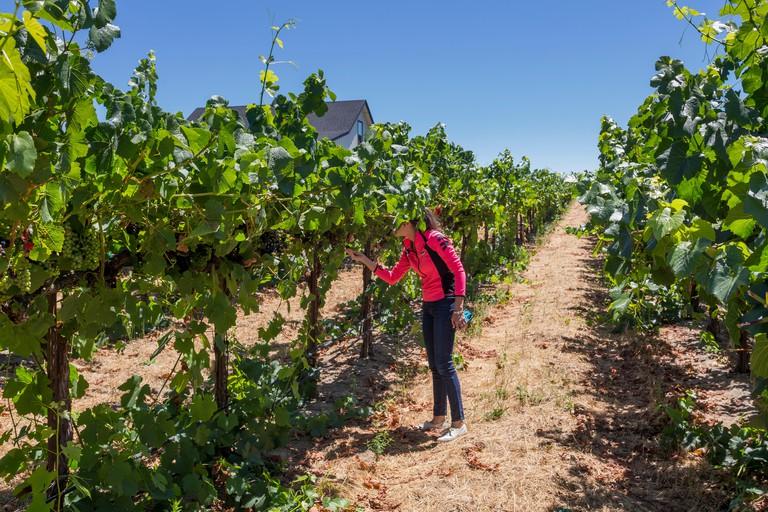 tourist, adult woman, Pinot noir grapevine vineyard, Martin Ray Vineyards and Winery, Santa Rosa, Russian River Valley, Sonoma County, California