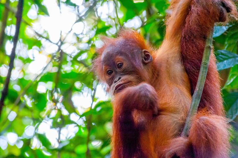 Sumatran Orangutan swinging on a tree in Bukit Lawang rainforest of Sumatra, Indonesia