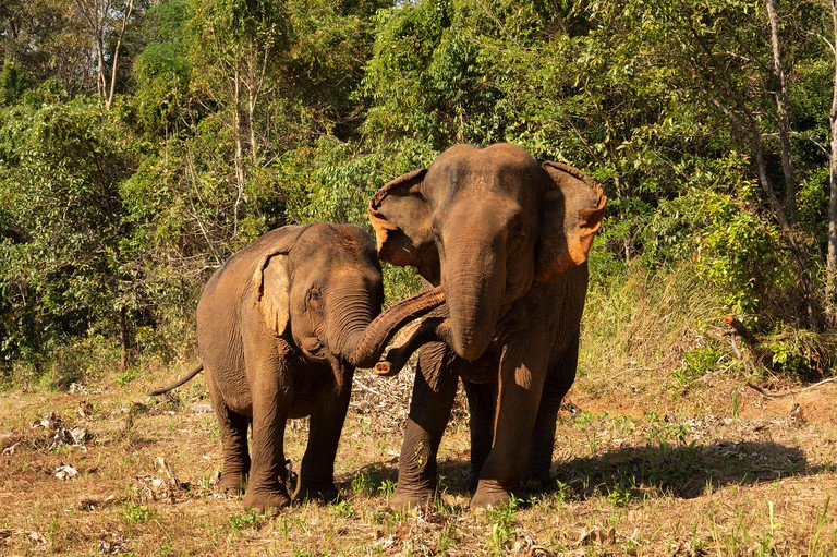 Cambodia, Mondulkiri Province, Sen Monorom, Elephant Valley Project, Sambo, former temple elephant at Wat Phnom, interacting by trouching trunks with