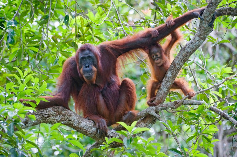 Bornean orangutan (Pongo pygmaeus pygmaeus), female with baby, Indonesia, Borneo, Tanjung Puting National Park CRF2PA