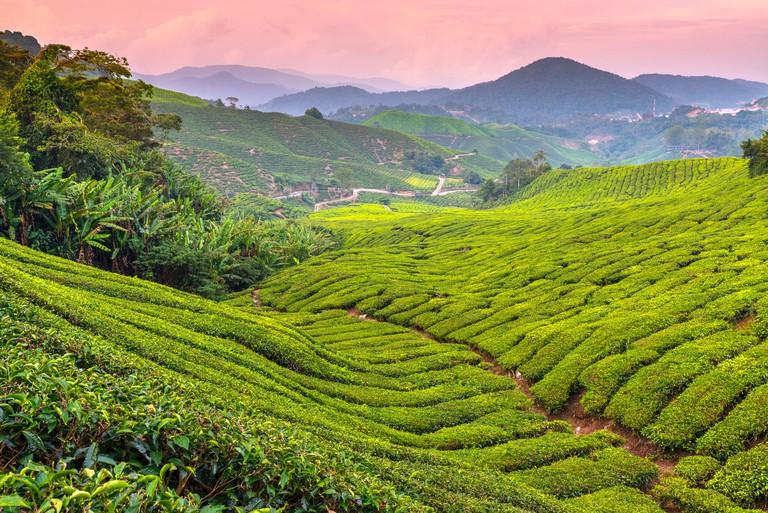 Malaysia, Pahang, Cameron Highlands, Brinchang, Tea Plantation_W2C7PK