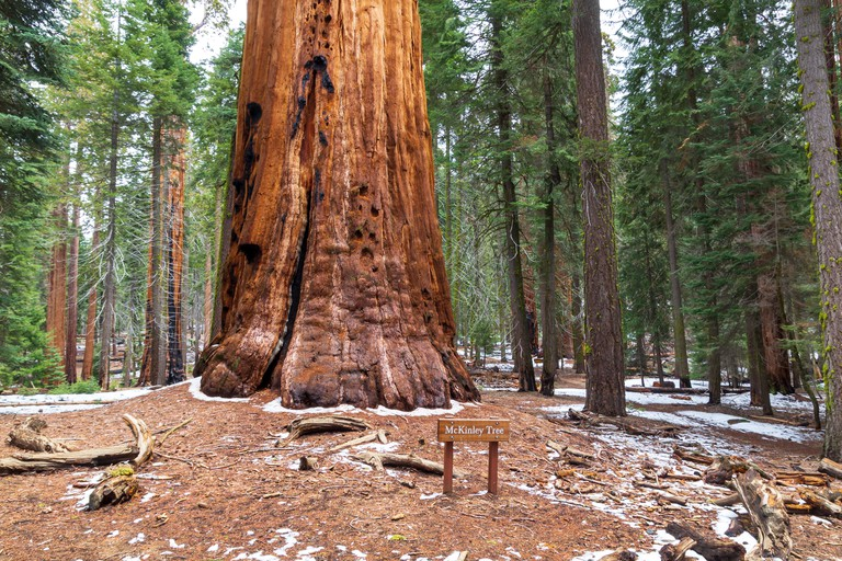 McKinley tree, a giant sequoia at Sequoia National Park, United States