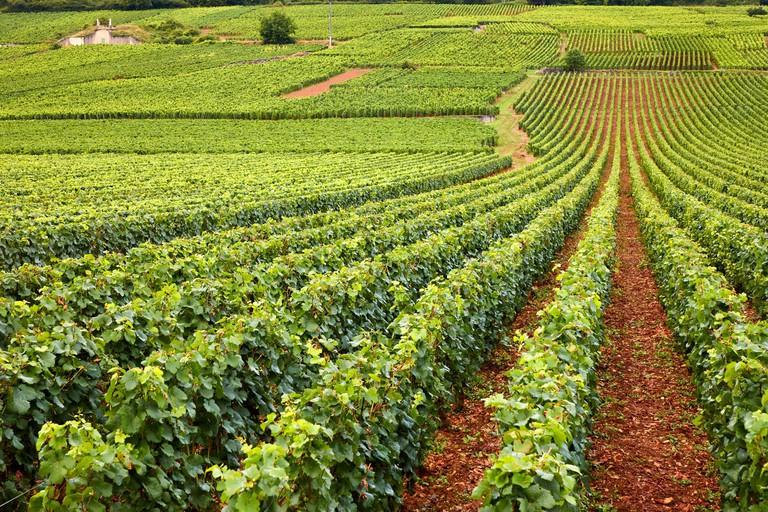 Pinot noir vineyards, Domaine de la Romanee-Conti, Vosne-Romanee, Cote de Nuits, Cote d´Or, Burgundy Region, Bourgogne, France, Europe