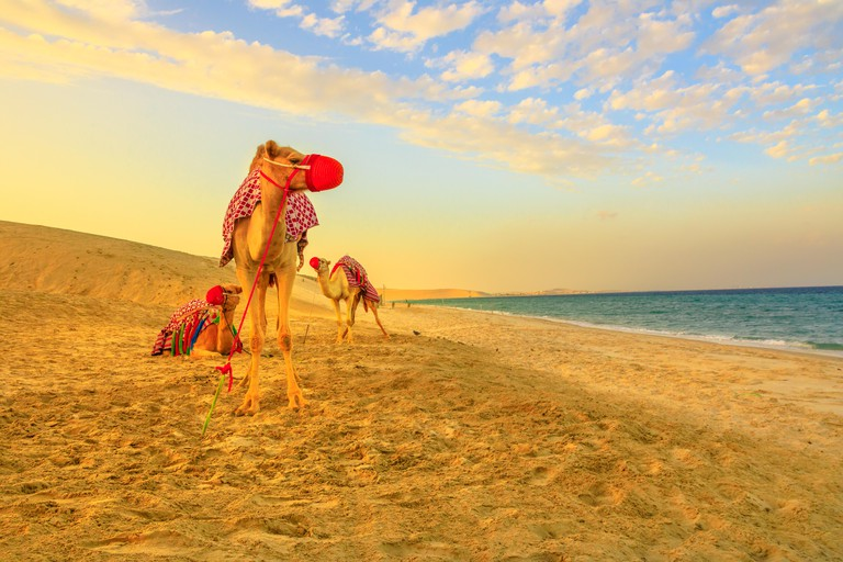 Three camels on the beach at Khor al Udaid in Persian Gulf, southern Qatar with sand dunes and sea on background. Camel ride is a popular tour in