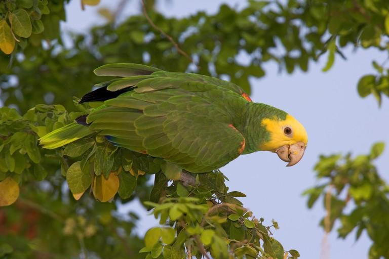 Yellow-headed Parrot (Amazona oratrix tresmariae) in foliage. Maria Madre Island, Islas Marias Biosphere Reserve, Sea of Cortez (Gulf of California), Mexico, June. Endangered.