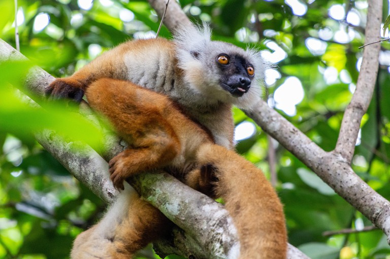 Lemur sitting on a tree at Lokobe nature strict reserve in Madagascar, Nosy Be, Africa
