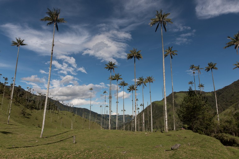 Trees On Field At Cocora Valley