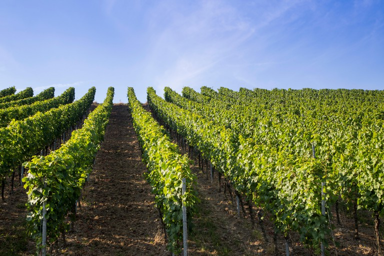 Vineyard along Stein-Wein-Pfad trail, Wuerzburg, Franconia, Bavaria, Germany