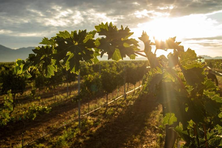 Sunburst through grape leaves in vineyard at sunrise in Arizona