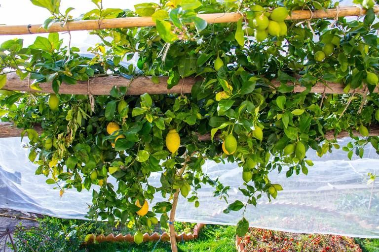 Lemons in Ravello, Province of Salerno, Amalfi Coast, Italy