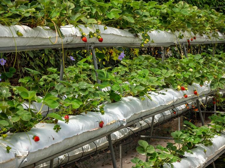 Strawberry vertical farm, bio and eco greengouse farming, Malaysia