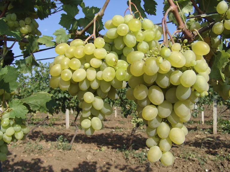 A9GRAC wine growing (Vitis spec.), Bulgaria, Aug 04.