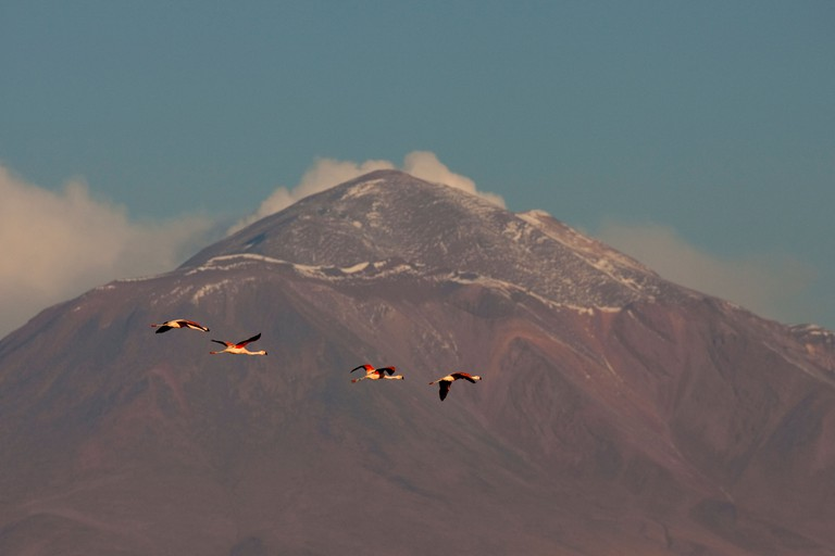 Andean Flamingoes Flying by the Lascar Volcano in the Atacama Desert, Chile