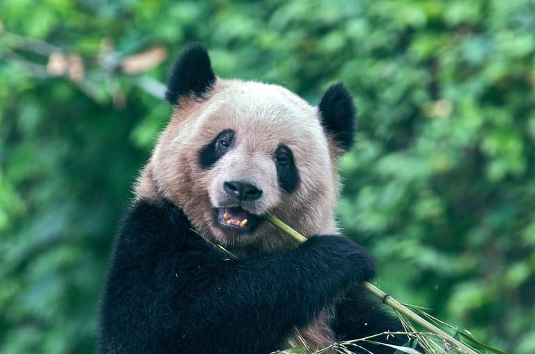 Giant Panda Chongqing Zoo China
