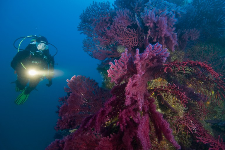 Scuba Diver at Reef with Fan Corals, Paramuricea clavata, Ustica Island, Sizilia, Italy