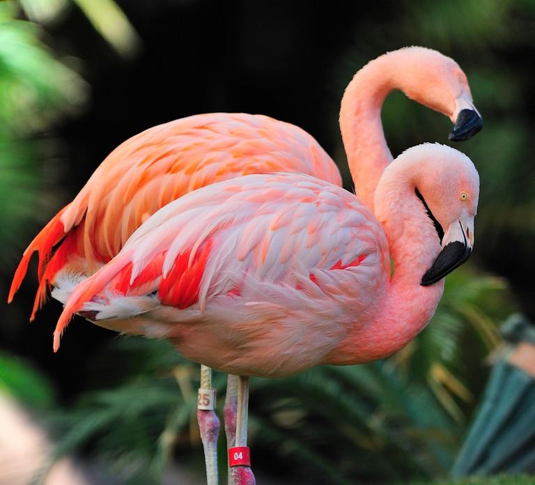 Pink Flamingos (Phoenicopterus ruber) in Las Vegas, Nevada