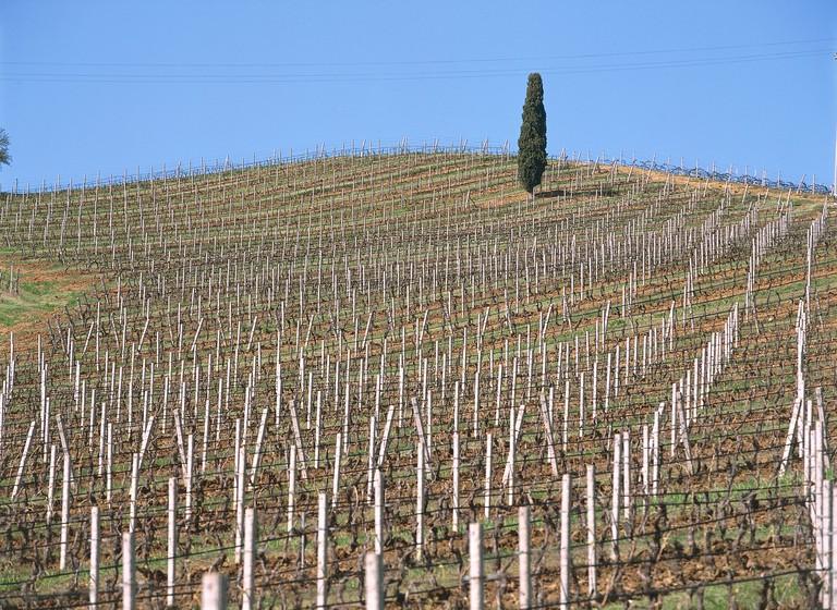 Sicily - Regaleali (Cl). Tenuta Vineyards in the Tasca d'Almerita.