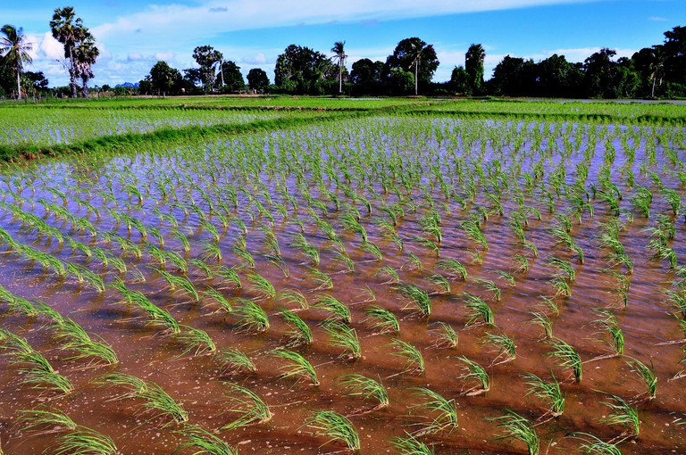 Rice cultivation in Thailand - Paddy fields swaying in the wind (Koh Klang, Krabi in Southern Thailand)