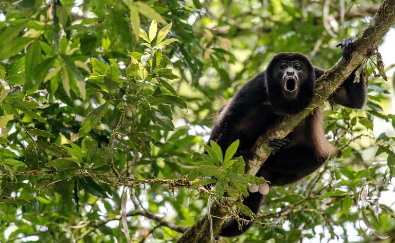 Howler monkey Alouatta in the wild Monteverde Costa Rica