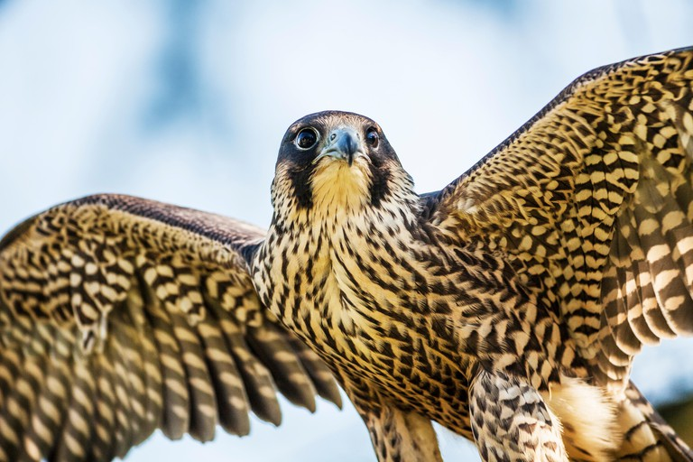 A peregrine falcon, Falco peregrinus