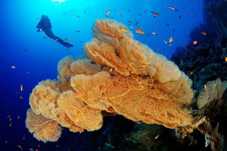 Coral reef with Giant Gorgonian or Sea fan and scuba diver, Hurghada, Giftun Island Reef, Red Sea, Egypt. Image shot 2015. Exact date unknown.
