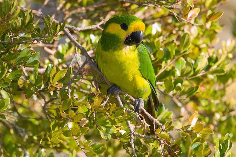 Yellow-eared Parrot (Ognorhynchus icterotis), Colombia