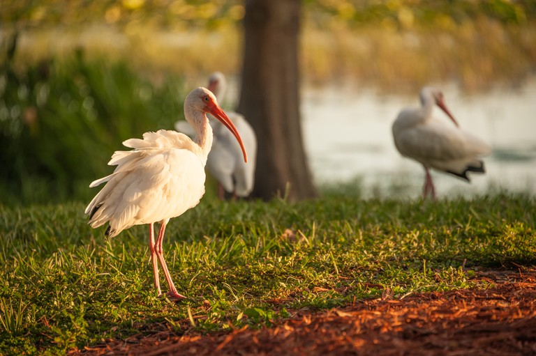 Late afternoon sunlight illuminates the white plumage of an American white ibis on the shore of Lake Harris in Leesburg, FL.. Image shot 2016. Exact date unknown.
