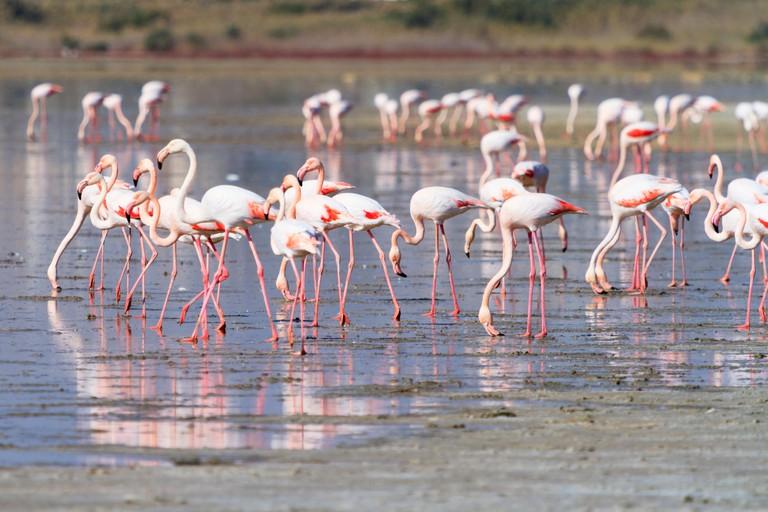 Annual flamingo migration to Larnaca Salt Lake, Cyprus.