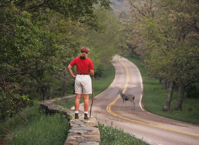 A young female hiker watches a deer cross the main park road in the mountains of Shenandoah National Park in Virginia.