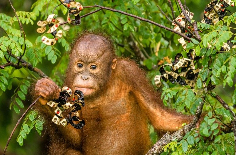 HM3XJ7 This wild young orangutan is climbing the rainforest trees to find red berries to eat.