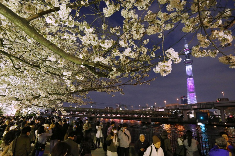 JP0B0F TOKYO, Japan - People view cherry blossoms in Sumida Park along the Sumida River in Tokyo against the backdrop of illuminated Tokyo Skytree tower in the evening of March 23, 2013. Cherry blossoms reached full bloom the previous day in central Tokyo, according to the Japan Meteorological Agency. (Kyodo)