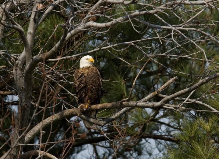 American Bald Eagle :: Haliaeetus leucocephalus