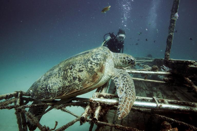 PPYAW7 Female scuba diver looks at large green sea turtle resting on shipwreck underwater at Mabul Island, Borneo