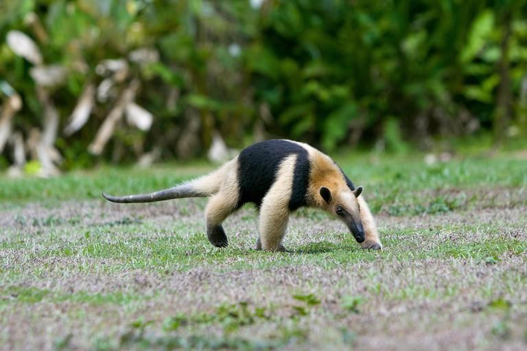 Lesser anteater (Tamandua mexicana) Corcovado National Park, Costa rica