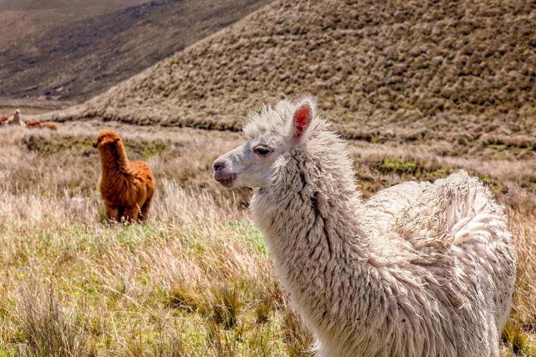 WH6D6R Alpacas On Field